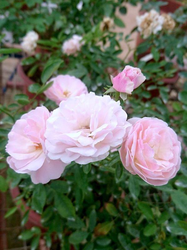 'Pink Summer Snow' Roses » Rose Plants