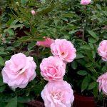 Rosa 'Pink Summer Snow' Pink » Rose Plants