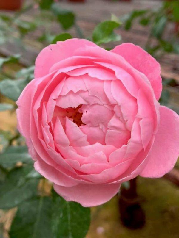 Japanese Rose 'Plume' » Rose Plants