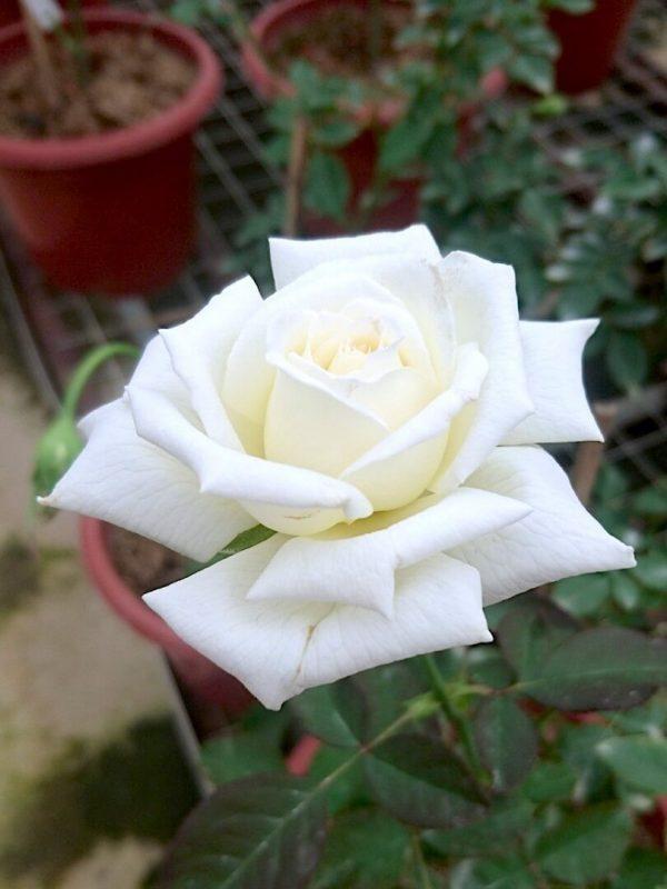 Rosa 'Pope John Paul II' » Rose Plants