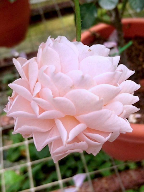'Psyche' Rose Fluffy Petals » Rose Plants