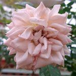 'Psyche' Rose