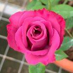 'Purple Cashmere' Rose