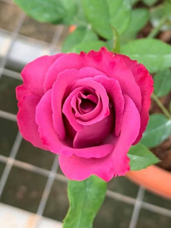 'Purple Cashmere' Rose Blooming » Rose Plants