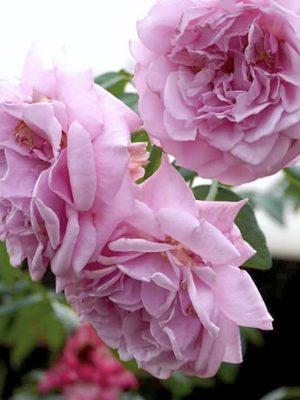 'Rainy Blue' Rose