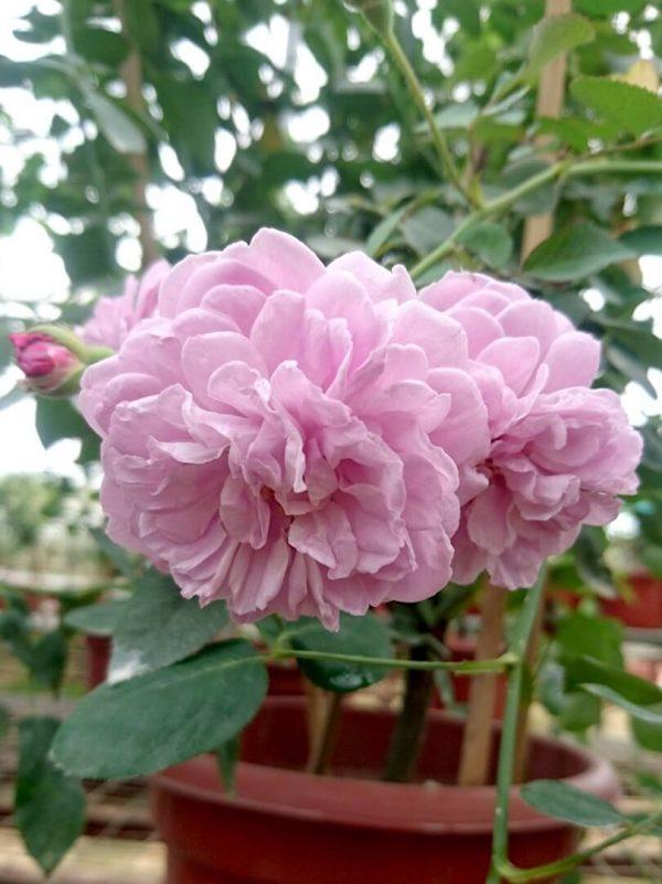 'Rainy Blue' Roses and Bud » Rose Plants