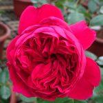 'Red Eden' Rose