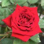 'Red Pinocchio' Rose