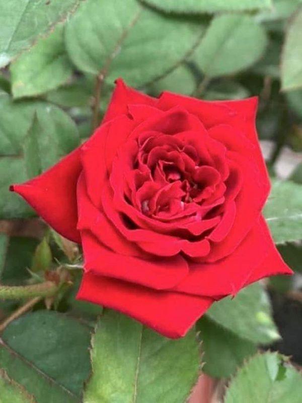 Rosa 'Red Pinocchio' » Rose Plants