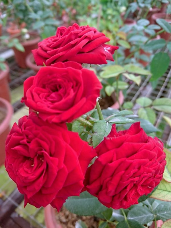 'Red Pinocchio' Roses Cluster-Flowered » Rose Plants