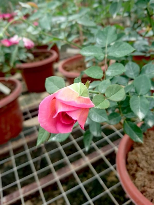 Japanese Rose 'Robe à la Française' Blooming » Rose Plants