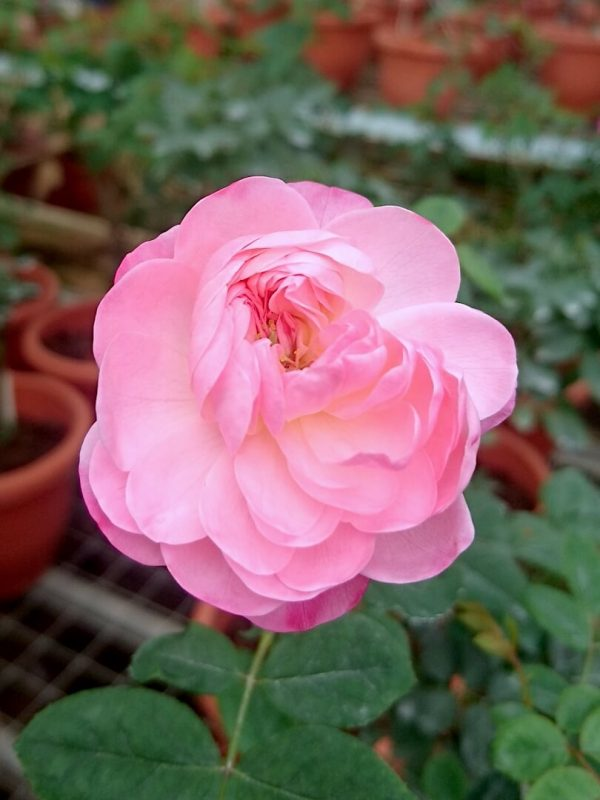 'Room and Room' Rose Blooming » Rose Plants