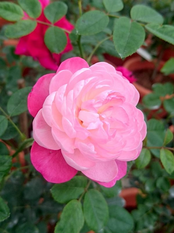 'Room and Room' Rose Sideview » Rose Plants