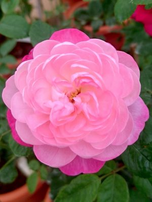 'Room and Room' Rose