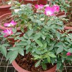 'Sanjit' Rose