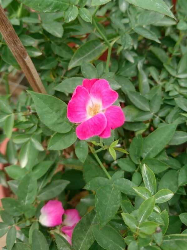 'Sanjit' Rose » Rose Plants
