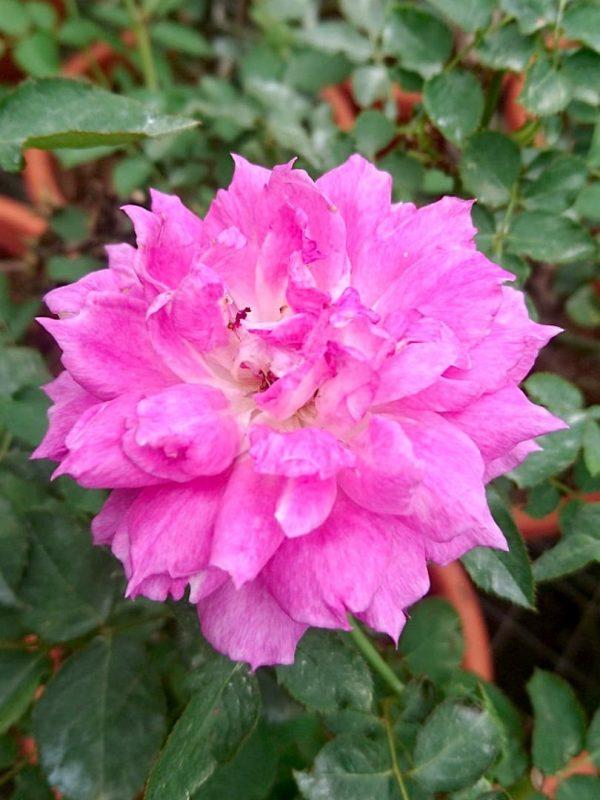 Japanese Rosa 'Scheherazade' » Rose Plants