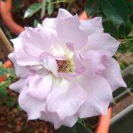 'Seiryu' Rose
