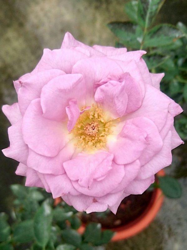 Japanese Rose 'Seiryu' Blooming » Flowering Plants