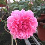 'Sister Elizabeth' Rose