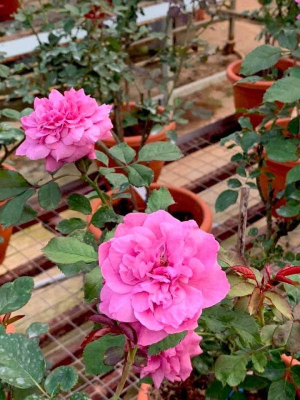 Japanese Roses 'Small Red Plum Juice' » Rose Plants