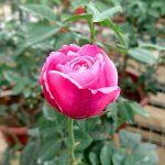 'Soeur Emmanuelle' Rose