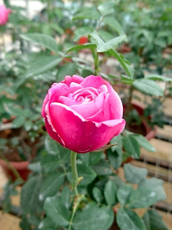 'Soeur Emmanuelle' Rose Blooming » Rose Plants
