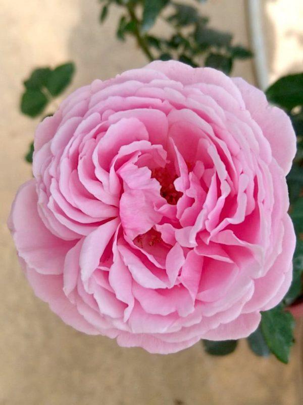 'Soeur Emmanuelle' Rose » Rose Plants