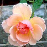 'Sonia Rykiel' Rose
