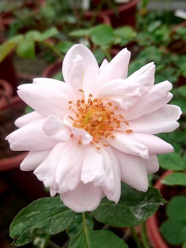 Rosa 'St Ethelburga' » Rose Plants