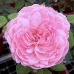 'St Ethelburga' Rose