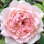 'Sucre' Rose