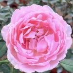 Japanese Rose 'Sucre' » Rose Plants