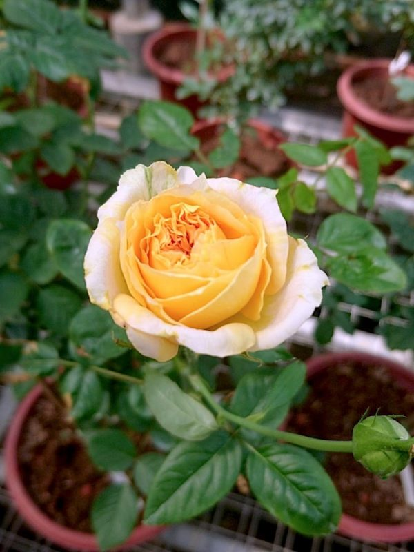 Rosa 'Summertime' Blooming » Rose Plants