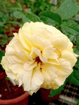 'Summertime' Rose