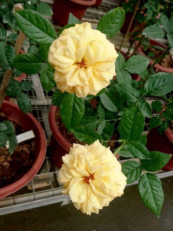 'Summertime' Roses » Rose Plants