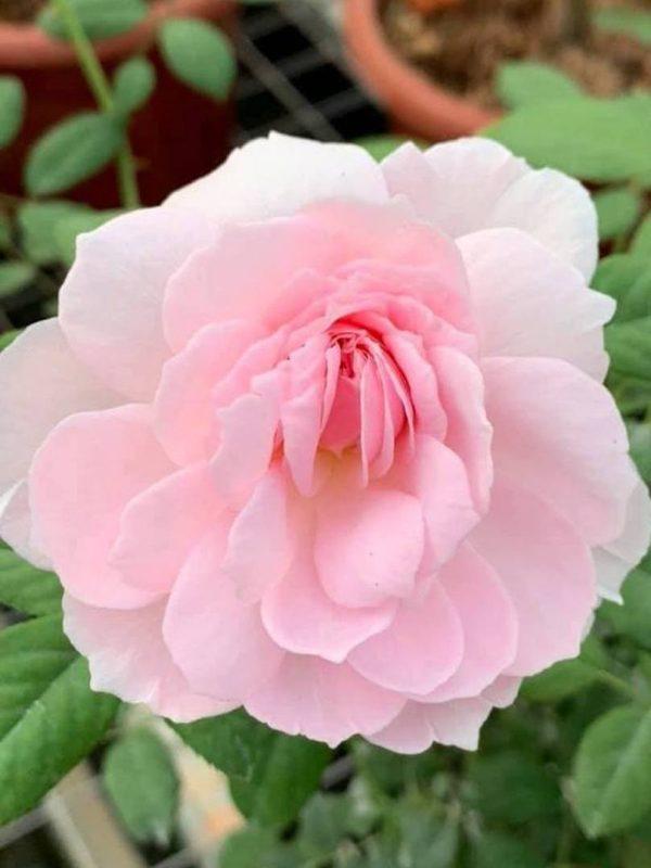 Rosa 'The Ancient Mariner' » Rose Plants