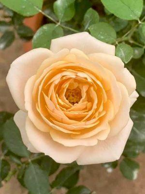 'Yui' Rose