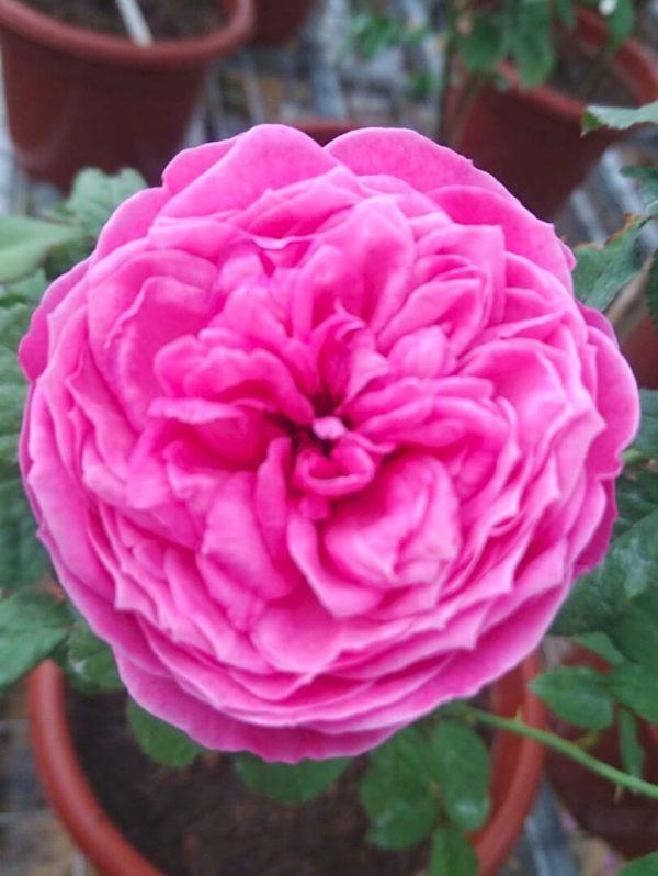 Japanese Rose 'Yuzen' » Rose Plants