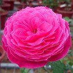 'Yuzen' Rose