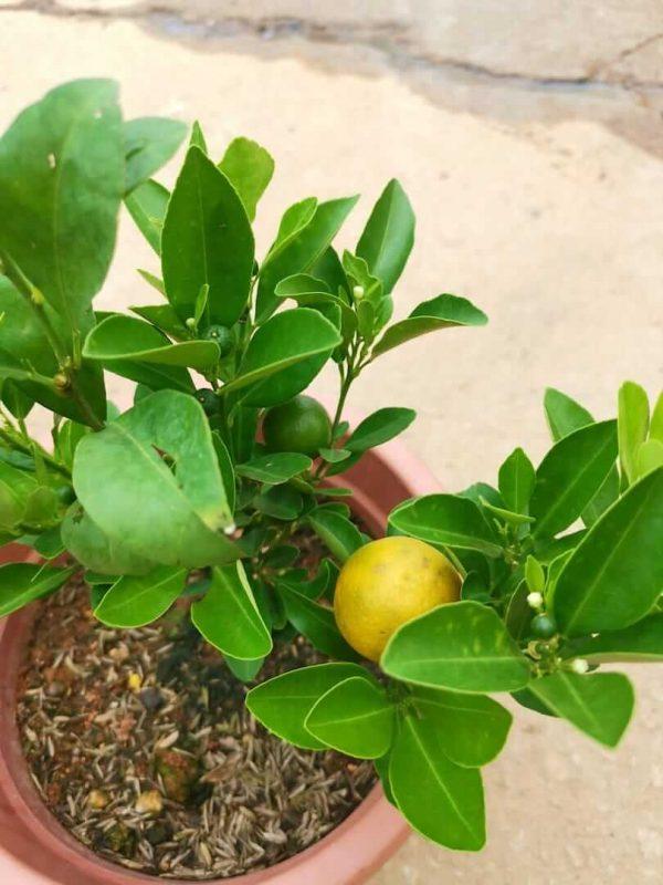 Lime Plant with Fruits - Pot 23 cm (d) » Fruit Trees