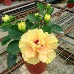 Hibiscus Adonicus Double Yellow