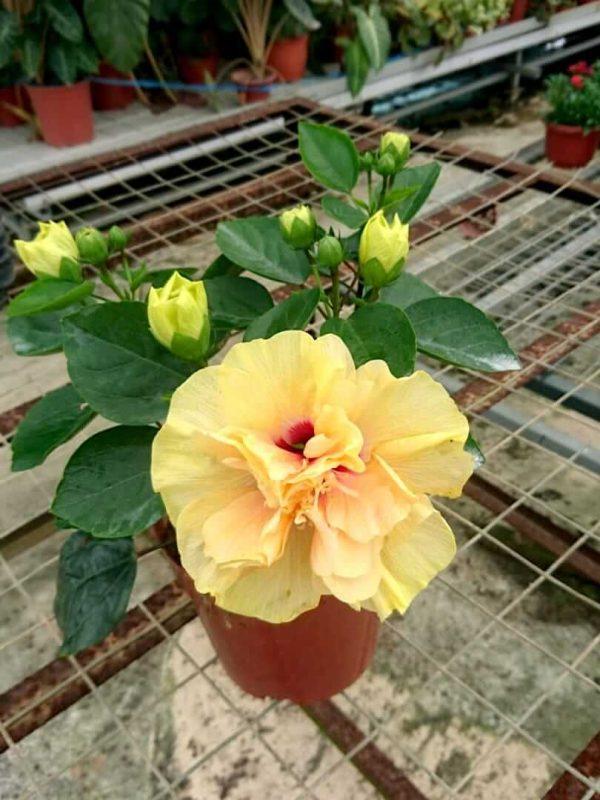 HibisQs® - Adonicus Double Yellow Hibiscus » Flowering Plants