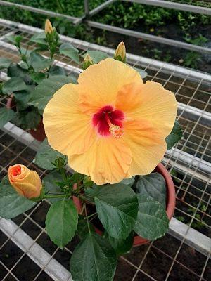 Hibiscus Adonicus Yellow