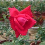 'Alec's Red' Rose