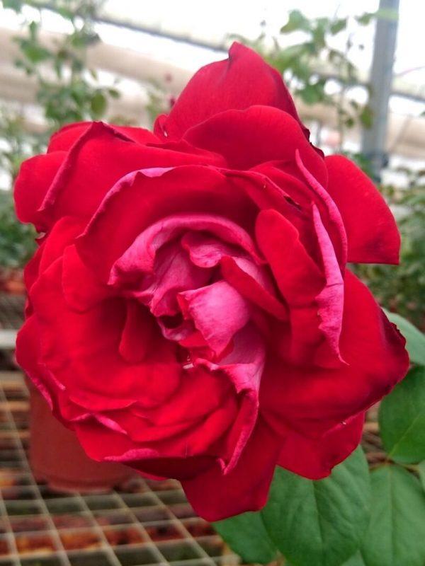 Rosa 'Alleluia' 11 cm Big Bloom » Rose Plants
