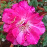 'Arc of Sky' Rose