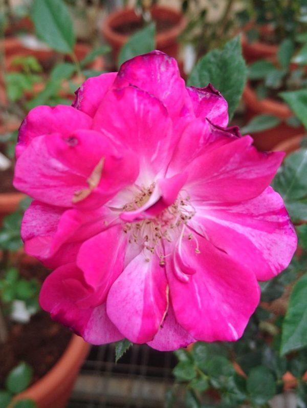 'Arc of Sky' Rose » Rose Plants