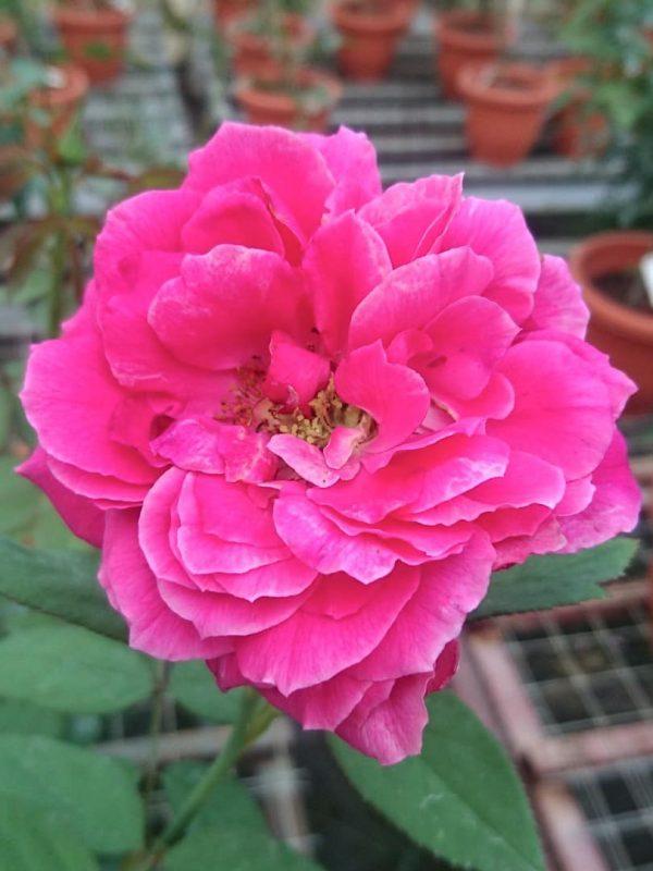 'Artly Close' Rose » Rose Plants