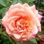 'Augusta Luise' Rose Tree